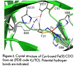 Figure 2. Crystal structure of Cys-bound Fe(II) CDO from rat (PDB code 4)JTO). Potential hydrogen bonds are indicated.