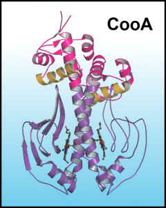 CO-Mediated Allostery in CooA