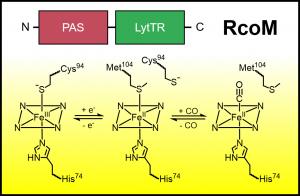 A Unique CO-sensing Transcription Factor, RcoM