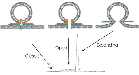 Figure 1 SNARE proteins illustration