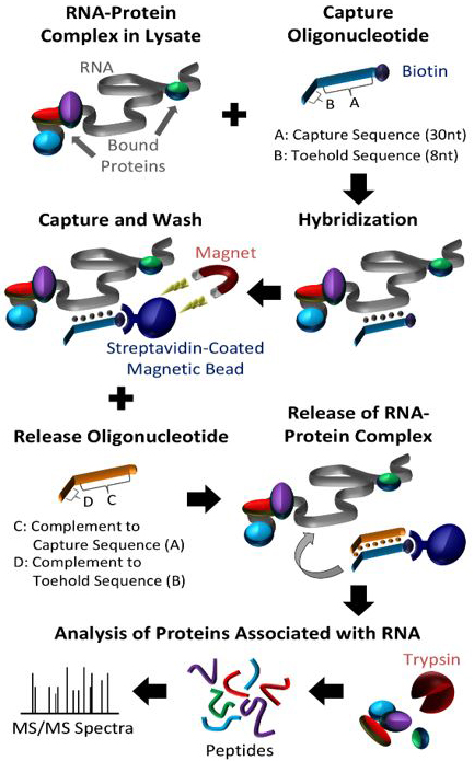 Illustration for RNA-Protein interactons