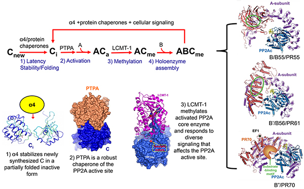 Image for Protein phosphatase 2A