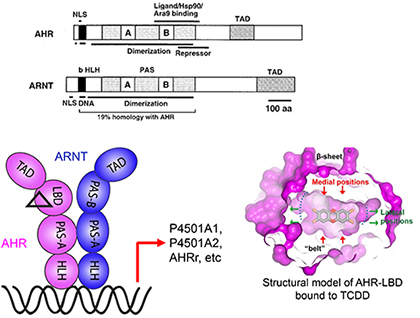 Image for Aryl hydrocarbon receptor signaling